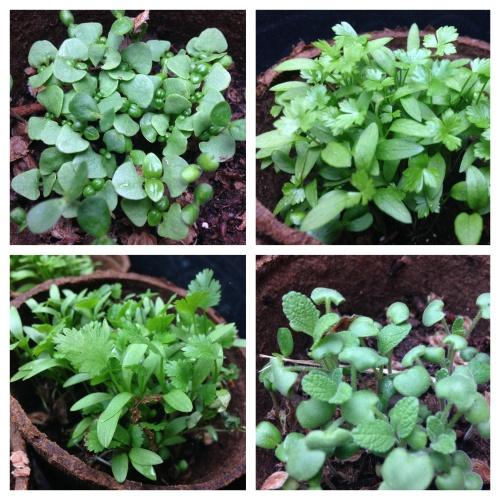 pre-flood herbs