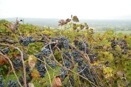vines at Bluemont